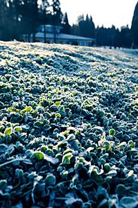 霜の下りたクローバー