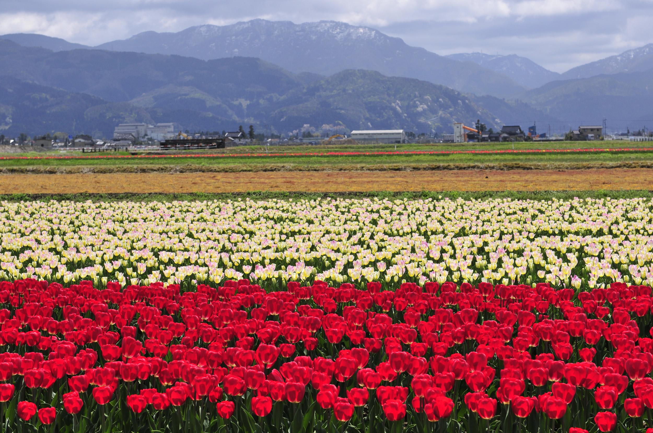 高解像度フリー写真集|チューリップ(富山県砺波市)