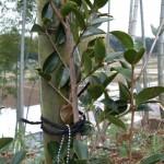 植樹(サザンカ)