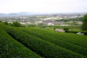 ikeda01 300x200 池田町の茶畑